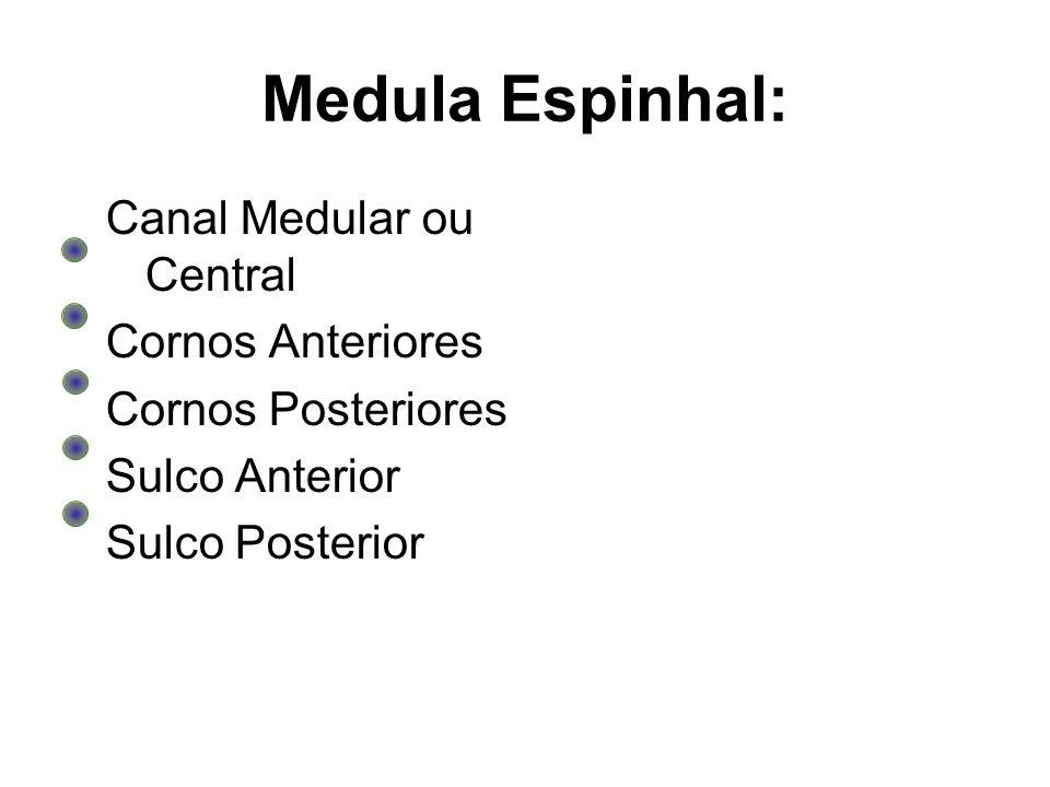 Medula Espinhal: Canal Medular ou Central Cornos Anteriores Cornos Posteriores Sulco Anterior Sulco Posterior