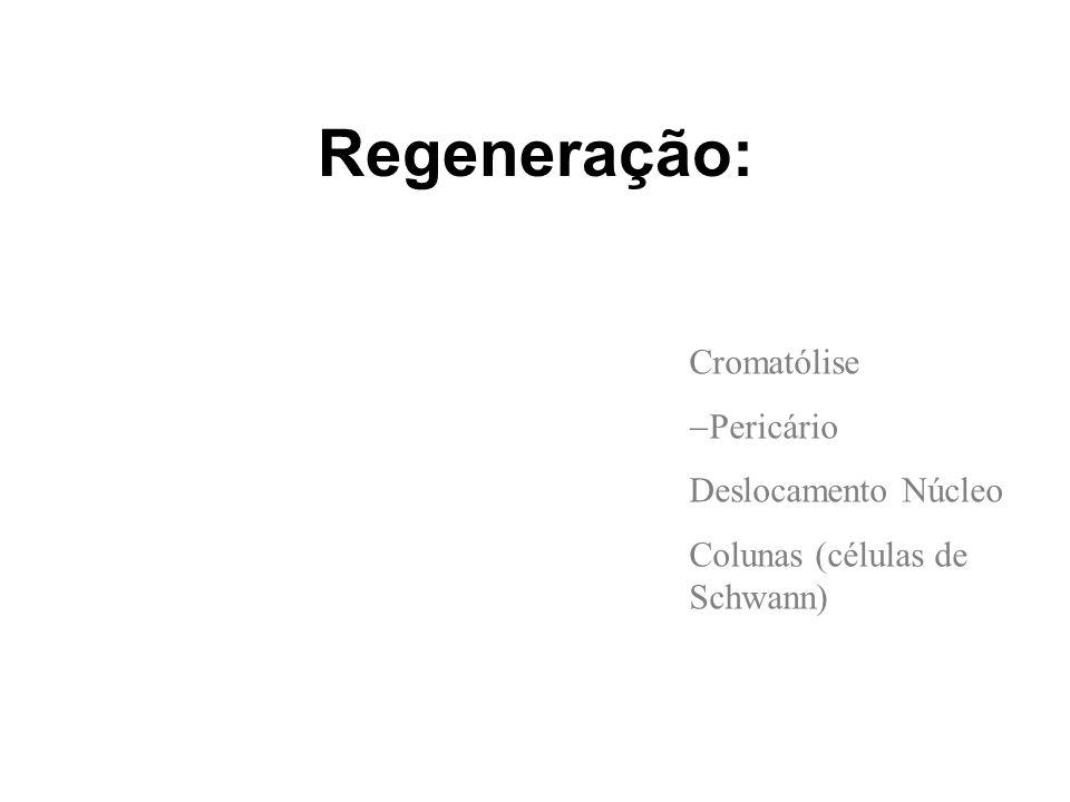 Regeneração: Cromatólise Pericário Deslocamento Núcleo Colunas (células de Schwann)