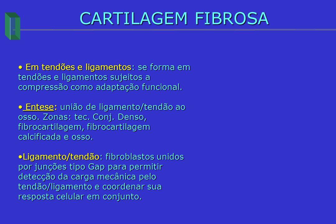 CARTILAGEM FIBROSA Em tendões e ligamentos: se forma em tendões e ligamentos sujeitos a compressão como adaptação funcional. Em tendões e ligamentos: