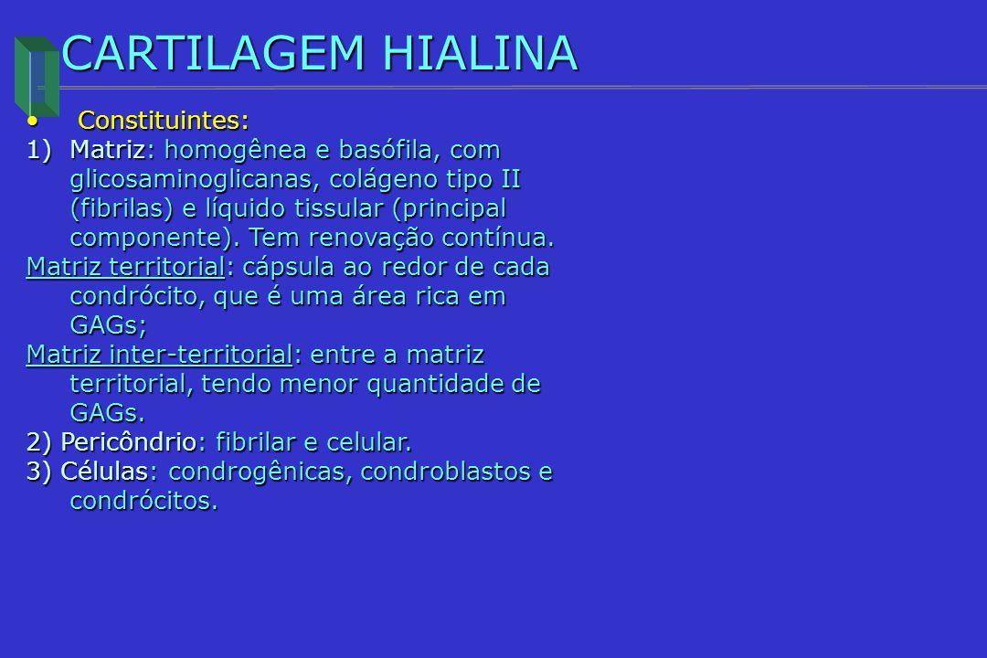 CARTILAGEM HIALINA Constituintes: Constituintes: 1)Matriz: homogênea e basófila, com glicosaminoglicanas, colágeno tipo II (fibrilas) e líquido tissul