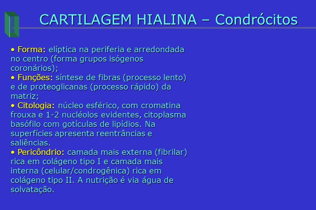 CARTILAGEM HIALINA – Condrócitos Forma: elíptica na periferia e arredondada no centro (forma grupos isógenos coronários); Forma: elíptica na periferia