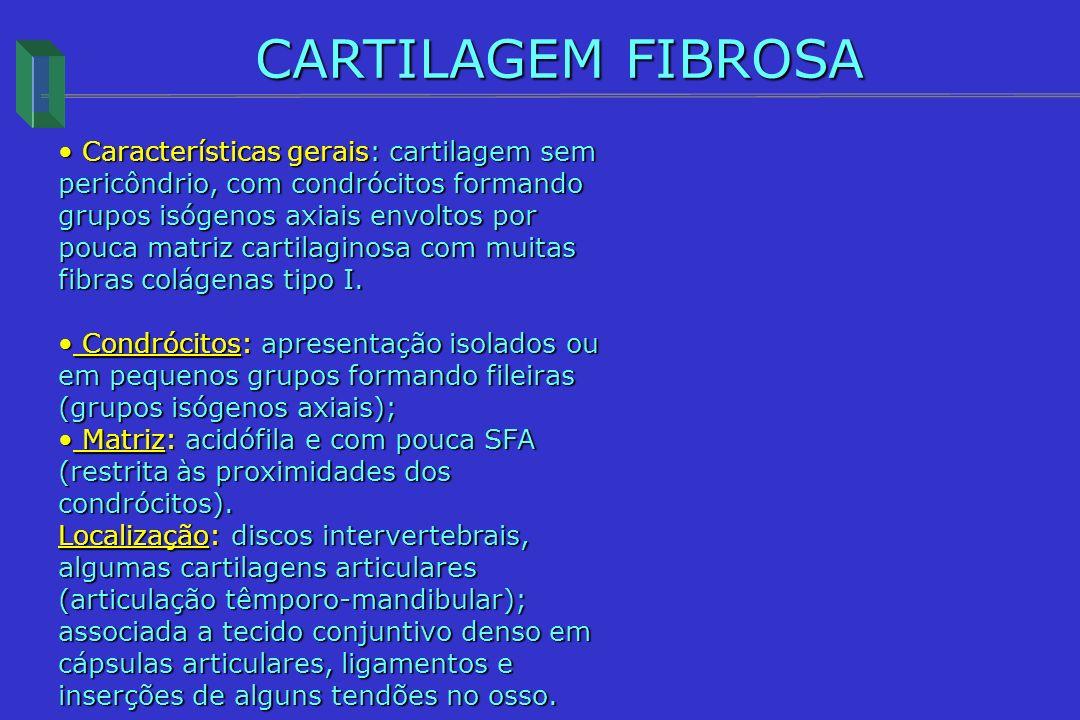 CARTILAGEM FIBROSA Características gerais: cartilagem sem pericôndrio, com condrócitos formando grupos isógenos axiais envoltos por pouca matriz carti