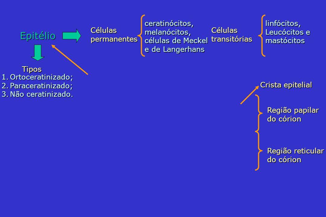 Epitélio ceratinócitos,melanócitos, células de Meckel e de Langerhans Célulaspermanentes linfócitos, Leucócitos e mastócitos Célulastransitórias Crist