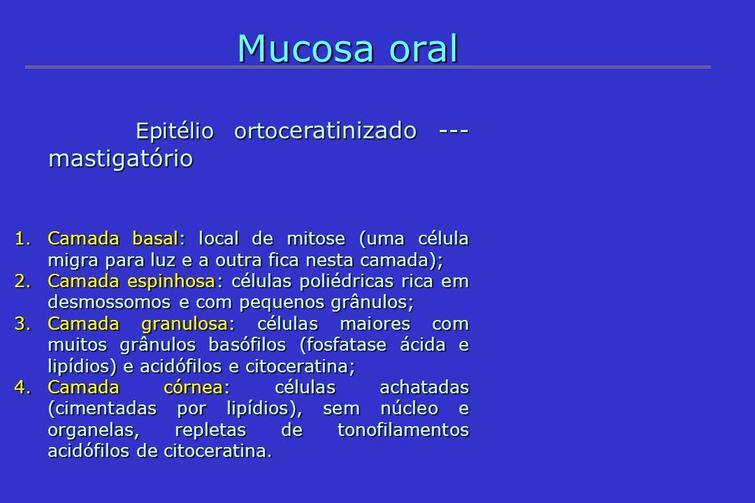 Mucosa oral Epitélio ortoc eratinizado --- mastigatório Epitélio ortoc eratinizado --- mastigatório 1.Camada basal: local de mitose (uma célula migra