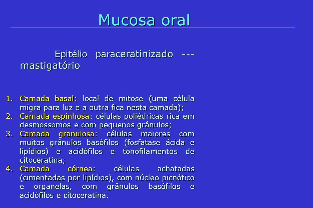 Mucosa oral Epitélio parac eratinizado --- mastigatório Epitélio parac eratinizado --- mastigatório 1.Camada basal: local de mitose (uma célula migra