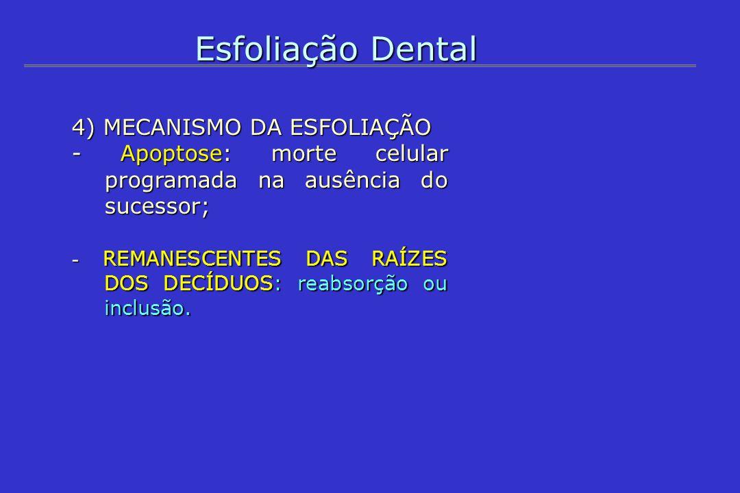 Esfoliação Dental 4) MECANISMO DA ESFOLIAÇÃO - Apoptose: morte celular programada na ausência do sucessor; - REMANESCENTES DAS RAÍZES DOS DECÍDUOS: re