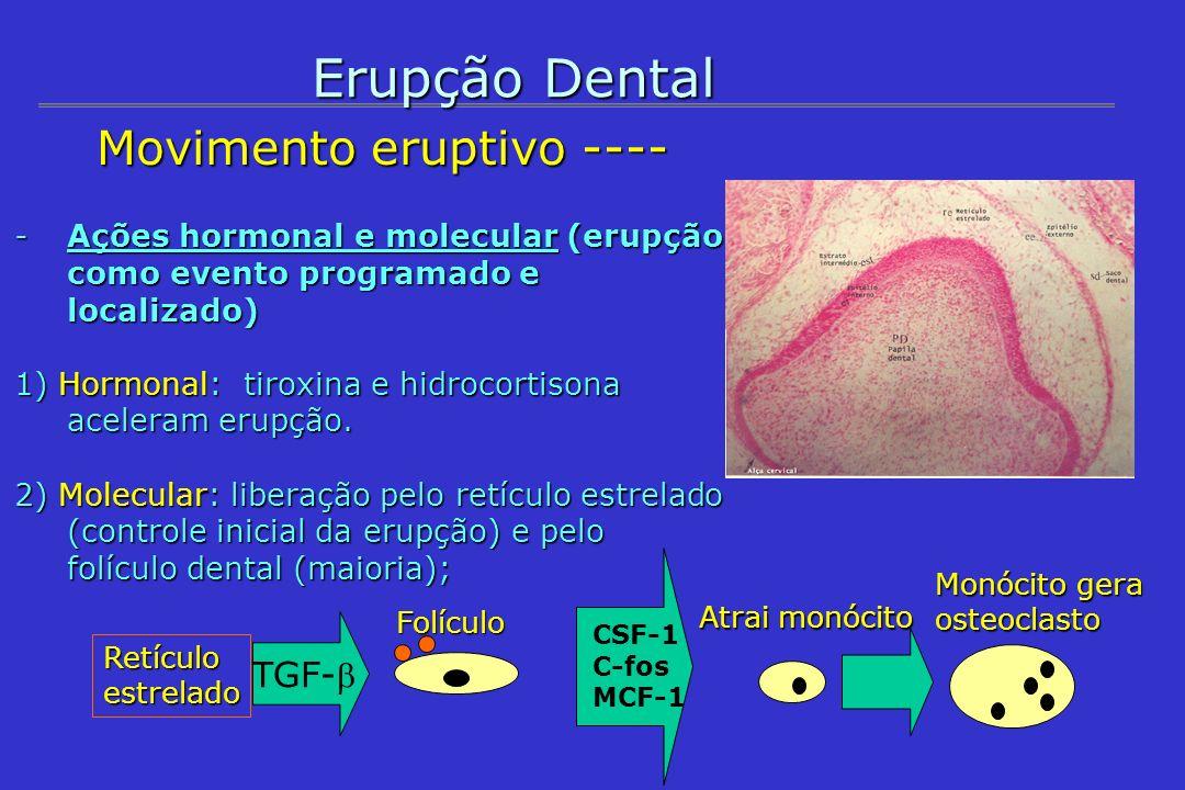Erupção Dental Movimento eruptivo ---- Movimento eruptivo ---- - Histologia 1 ) Remoção dos tecidos que recobrem a coroa; 2) Remodelação óssea na base do alvéolo; 3) Desenvolvimento da raiz; 4) Desenvolvimento do periodonto (epitélio juncional); - proliferação do epitélio gengival + prolif.