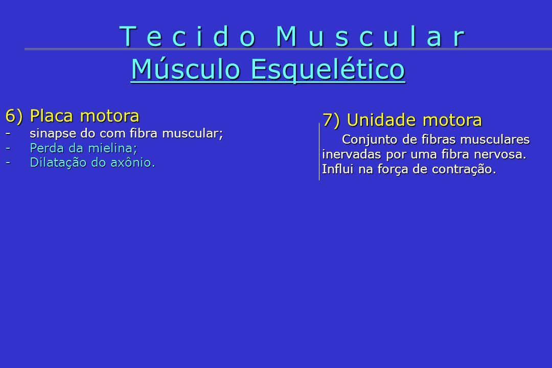 Músculo Esquelético 6) Placa motora -sinapse do com fibra muscular; -Perda da mielina; -Dilatação do axônio. T e c i d o M u s c u l a r 7) Unidade mo