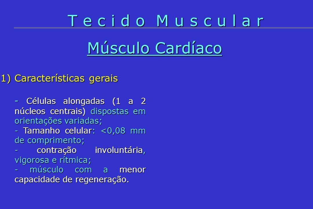 1)Características gerais - Células alongadas (1 a 2 núcleos centrais) dispostas em orientações variadas; - Tamanho celular: <0,08 mm de comprimento; -