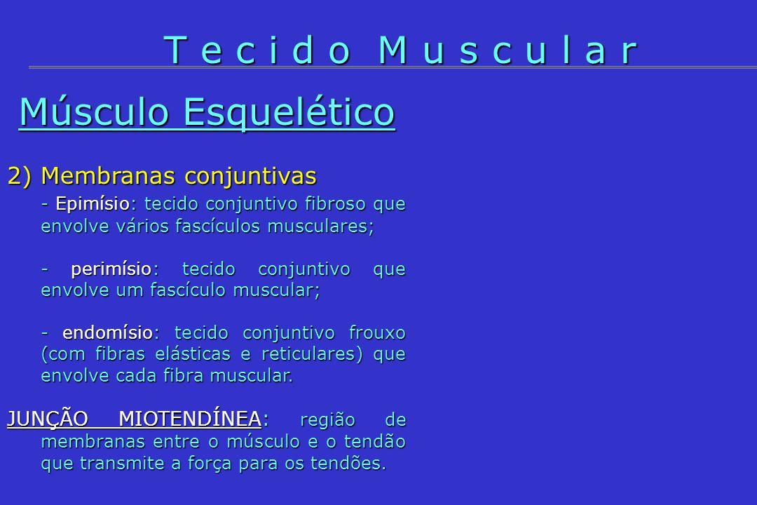 Músculo Esquelético 3) Célula muscular (fibra) - Célula multinucleada com núcleos na periferia; - Tamanho celular: 1-40 mm de comprimento; - Sarcolema: membrana celular; - sarcoplasma: citoplasma; - organelas principais: muitas mitocôndrias e gotículas de glicogênio, REL desenvolvido, mioglobina e muitas miofibrilas.