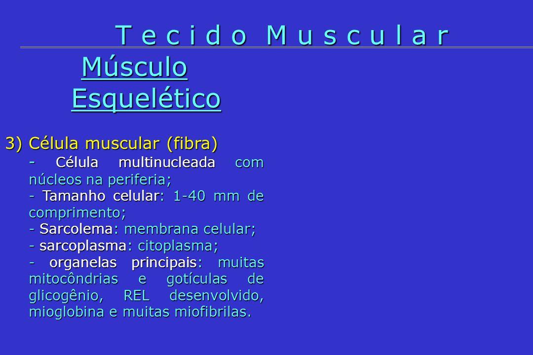 Músculo Esquelético Músculo Esquelético 3) Célula muscular (fibra) SARCÔMERO (UNIDADE SARCÔMERO (UNIDADE MORFOFUNCIONAL INTRA-CELULAR) Limites: entre duas linhas Z BANDA A: faixa escura banda H (clara) com linha M banda H (clara) com linha M faixa escura (actina e miosina) faixa escura (actina e miosina) BANDA I: faixa clara linha Z (escura) linha Z (escura) faixas claras (actina) faixas claras (actina) T e c i d o M u s c u l a r