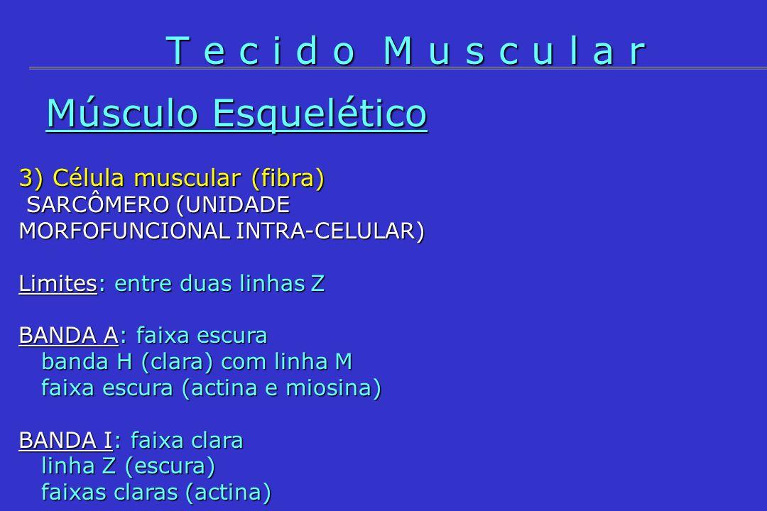 Músculo Esquelético 3) Célula muscular (fibra) - MIOFIBRILAS Actina: duas actinas F (monômeros de actina G); Tropomiosina: duas cadeias enroladas situadas nos sulcos das actinas F; Troponina: polímero de três monômeros, TNT (unido à tropomiosina), TNC (se liga ao cálcio) e TNI (cobre local da actina se unir à miosina); Miosina: bastão com cabeça.