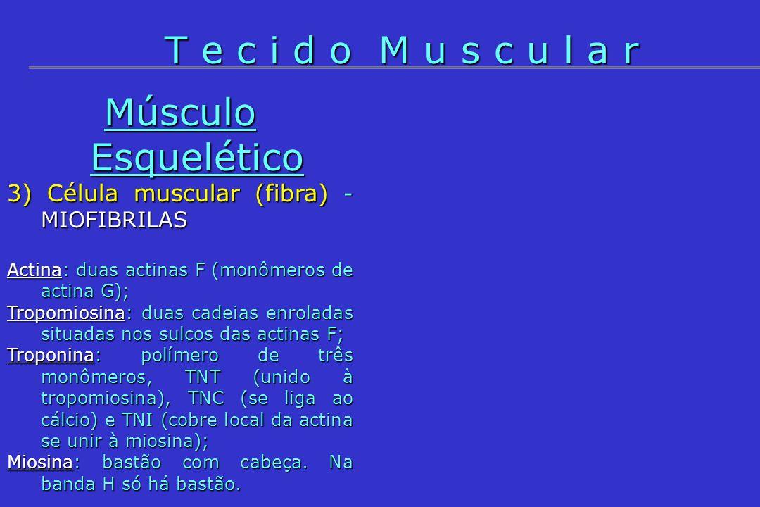 Músculo Esquelético 3) Célula muscular (fibra) - MIOFIBRILAS Actina: duas actinas F (monômeros de actina G); Tropomiosina: duas cadeias enroladas situ