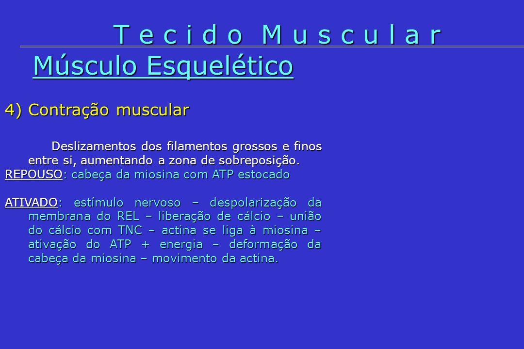Músculo Esquelético 4) Contração muscular Deslizamentos dos filamentos grossos e finos entre si, aumentando a zona de sobreposição. REPOUSO: cabeça da