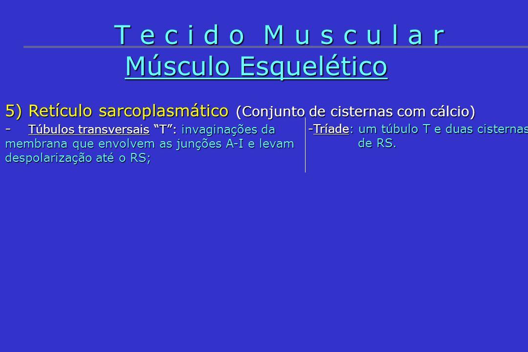 Músculo Esquelético 5) Retículo sarcoplasmático (Conjunto de cisternas com cálcio) - Túbulos transversais T: invaginações da membrana que envolvem as