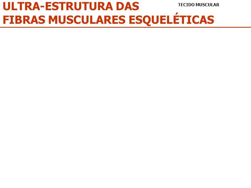ULTRA-ESTRUTURA DAS FIBRAS MUSCULARES ESQUELÉTICAS TECIDO MUSCULAR