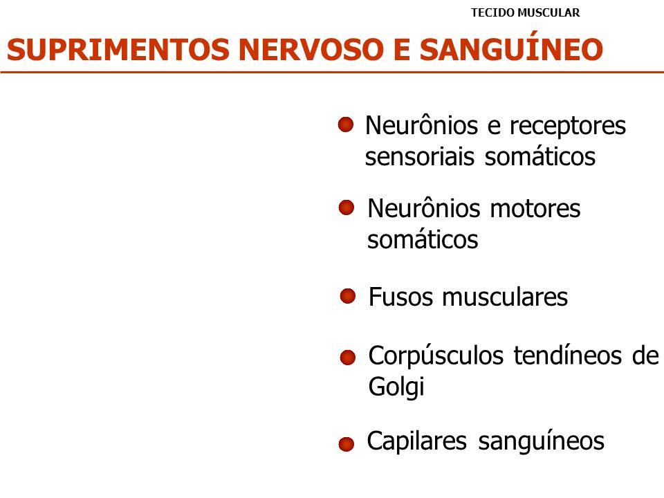 SUPRIMENTOS NERVOSO E SANGUÍNEO TECIDO MUSCULAR Neurônios e receptores sensoriais somáticos Neurônios motores somáticos Capilares sanguíneos Fusos mus