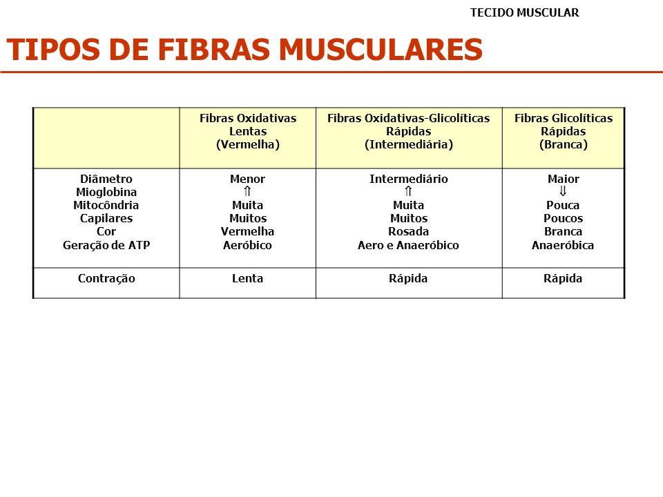 TIPOS DE FIBRAS MUSCULARES TECIDO MUSCULAR Fibras Oxidativas Lentas (Vermelha) Fibras Oxidativas-Glicolíticas Rápidas (Intermediária) Fibras Glicolíti