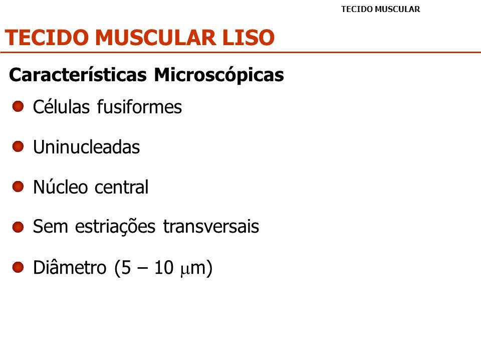 TECIDO MUSCULAR LISO TECIDO MUSCULAR Células fusiformes Uninucleadas Núcleo central Sem estriações transversais Diâmetro (5 – 10 m) Características Mi