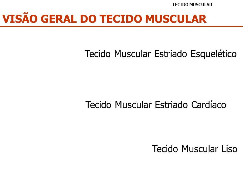 VISÃO GERAL DO TECIDO MUSCULAR TECIDO MUSCULAR Tecido Muscular Estriado Esquelético Tecido Muscular Estriado Cardíaco Tecido Muscular Liso