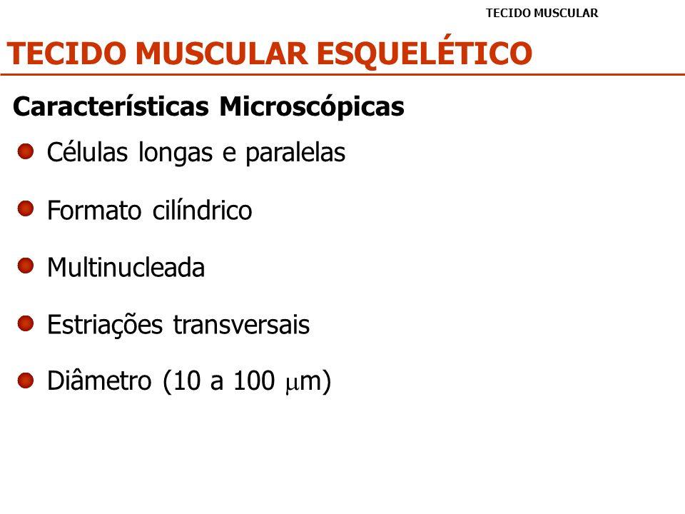 TECIDO MUSCULAR CARDÍACO TECIDO MUSCULAR Células alongadas e ramificadas Bi ou Multinucleadas Núcleo central Estriações transversais Diâmetro (10 - 20 m) Discos intercalares Características Microscópicas
