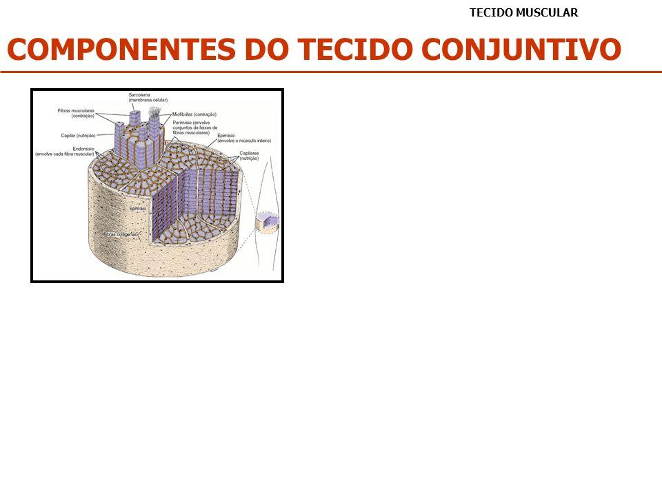 REGENERAÇÃO DO TECIDO MUSCULAR TECIDO MUSCULAR