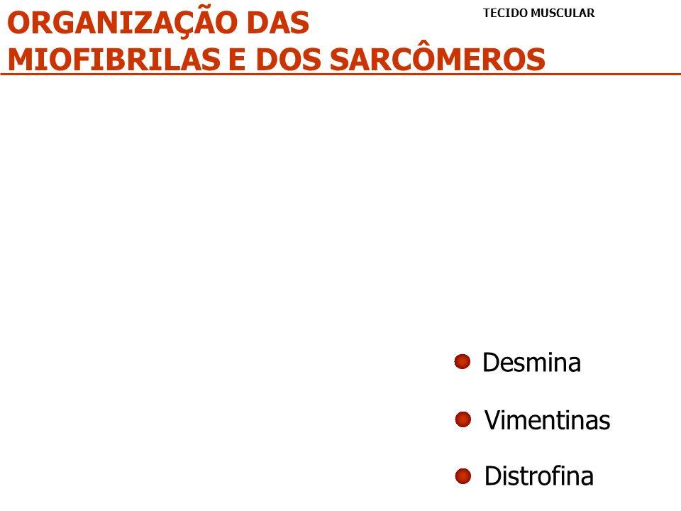 ORGANIZAÇÃO DAS MIOFIBRILAS E DOS SARCÔMEROS TECIDO MUSCULAR Desmina Vimentinas Distrofina