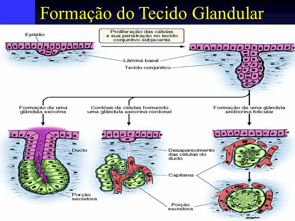 Natureza do Produto de Secreção Hormônio Hormônio Substâncias graxas Substâncias graxas Combinação de proteína, lipídio e carboidratos Combinação de proteína, lipídio e carboidratos Exsudato do sangue Exsudato do sangue Transporte de íons Transporte de íons