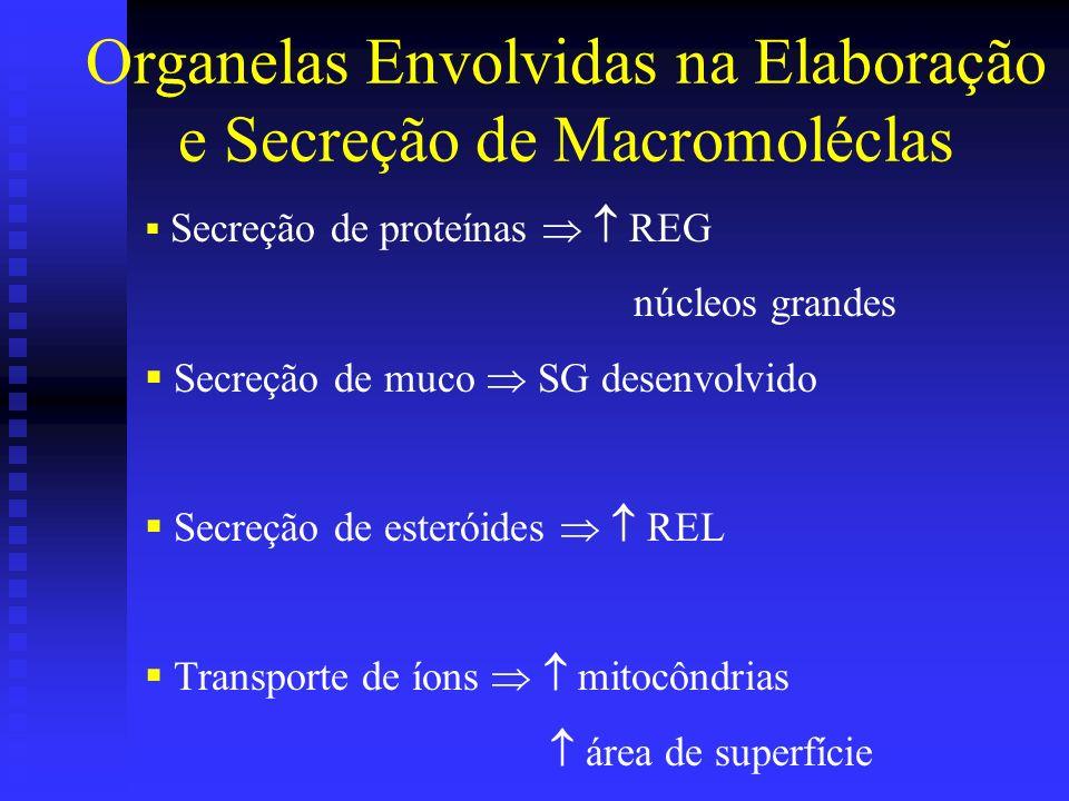 Organelas Envolvidas na Elaboração e Secreção de Macromoléclas Secreção de proteínas REG núcleos grandes Secreção de muco SG desenvolvido Secreção de