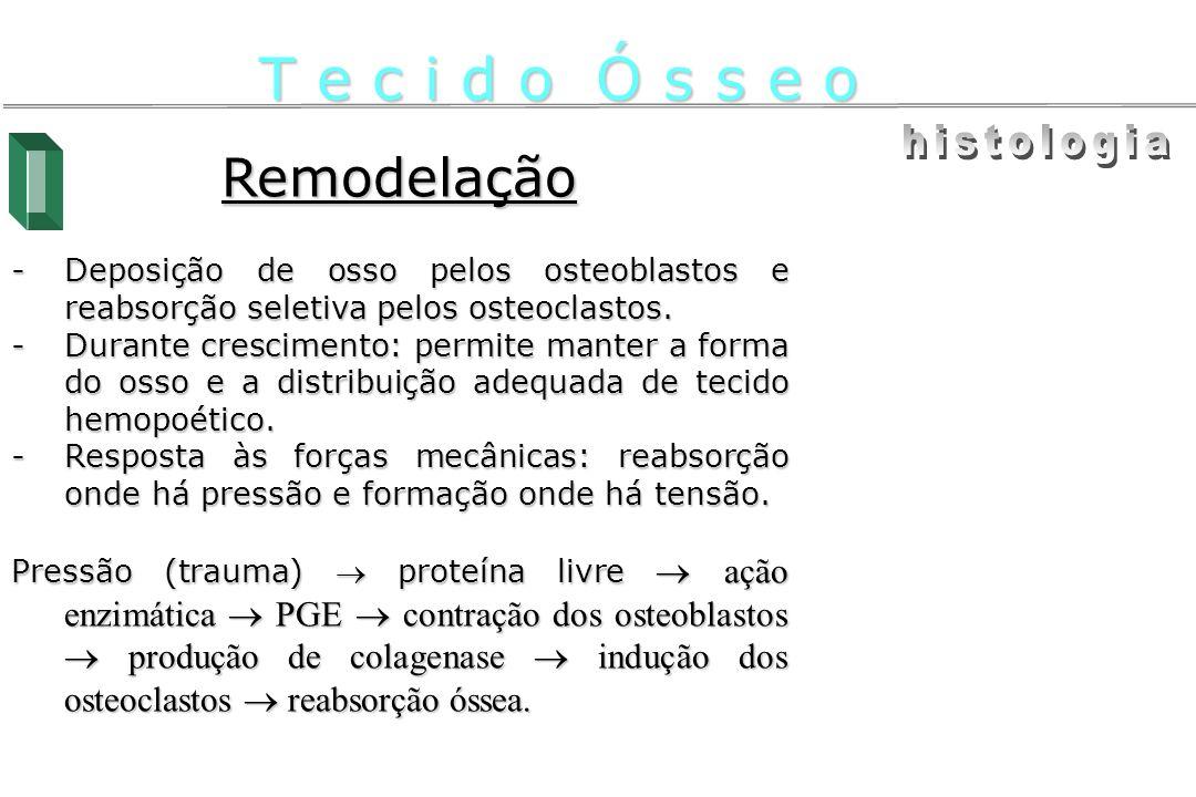 Remodelação -Deposição de osso pelos osteoblastos e reabsorção seletiva pelos osteoclastos. -Durante crescimento: permite manter a forma do osso e a d