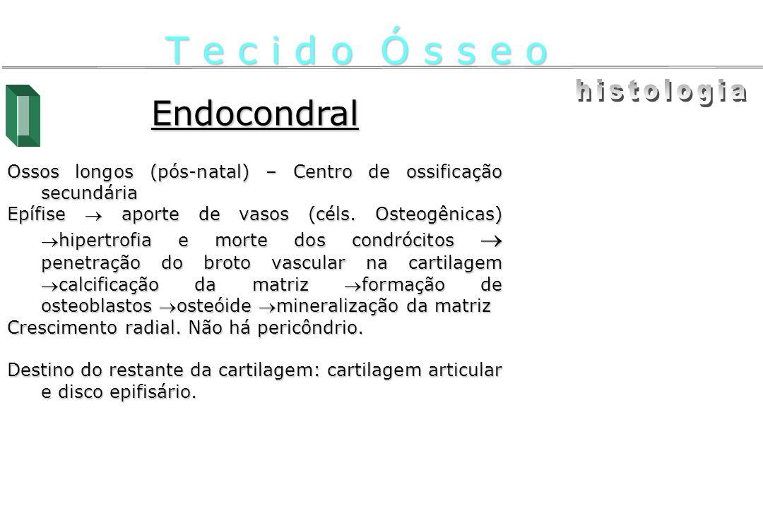 Endocondral Ossos longos (pós-natal) – Centro de ossificação secundária Epífise aporte de vasos (céls. Osteogênicas)hipertrofia e morte dos condrócito