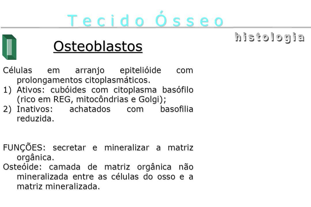 Osteoblastos Células em arranjo epitelióide com prolongamentos citoplasmáticos. 1)Ativos: cubóides com citoplasma basófilo (rico em REG, mitocôndrias