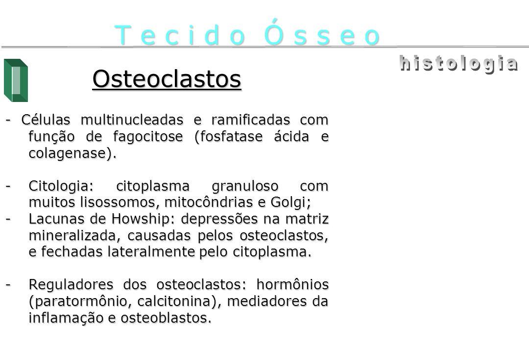 Osteoclastos - Células multinucleadas e ramificadas com função de fagocitose (fosfatase ácida e colagenase). -Citologia: citoplasma granuloso com muit