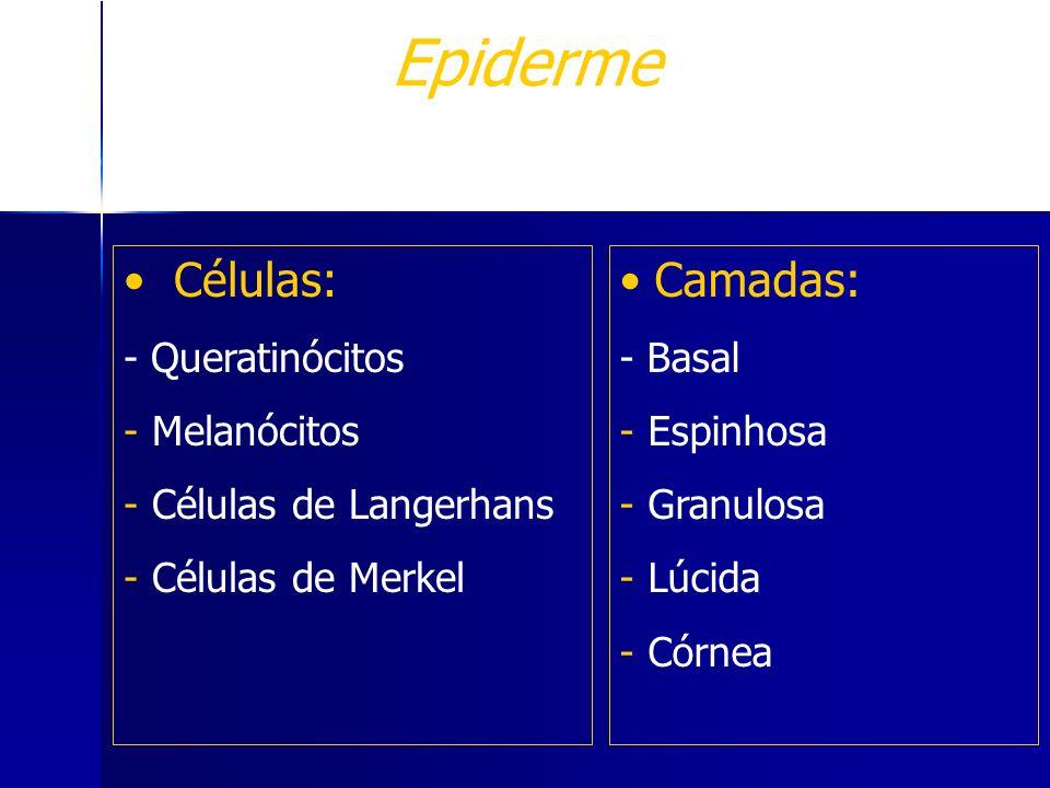 Epiderme Células: - Queratinócitos - Melanócitos - Células de Langerhans - Células de Merkel T.E.R. estratificado pavimentoso queratinizado Camadas: -