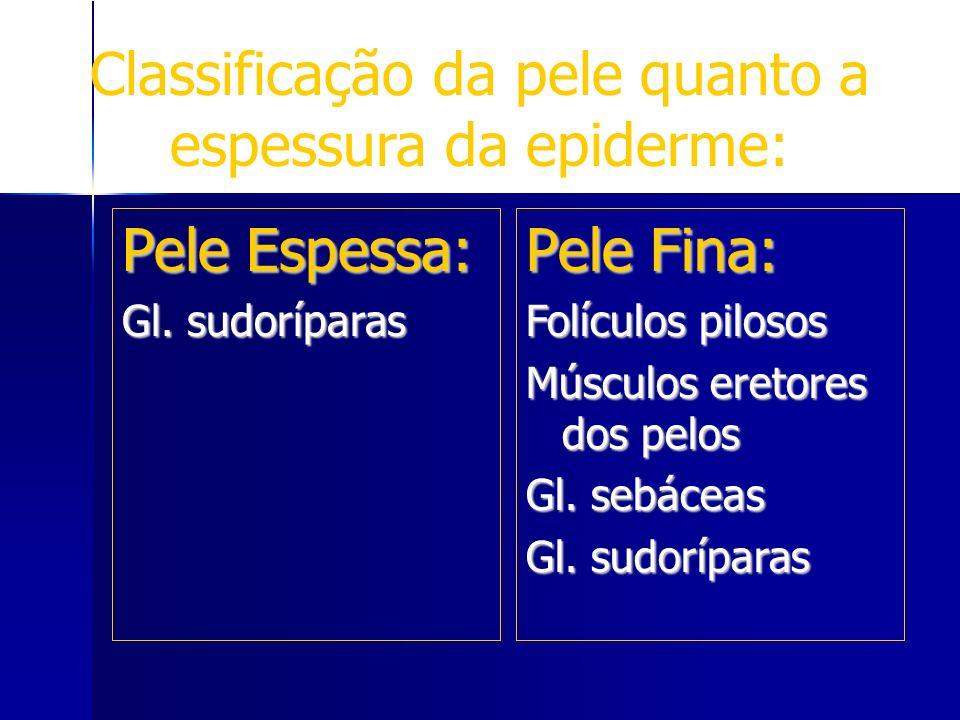 Pele Espessa: Gl. sudoríparas Pele Fina: Folículos pilosos Músculos eretores dos pelos Gl. sebáceas Gl. sudoríparas Classificação da pele quanto a esp