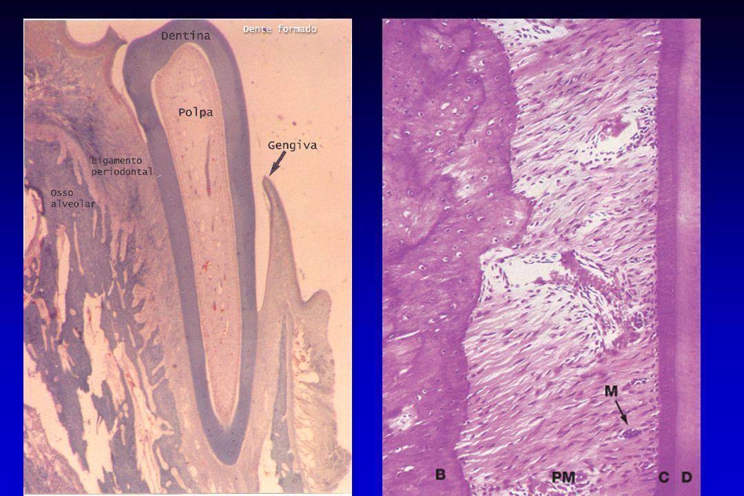 Ligamento Periodontal 1) TOPOGRAFIA Variação na espessura: Variação na espessura: - de 0,1-0,4 mm; - variação entre decíduos e permanentes; - variação inter e intra-dental; - varia de acordo com a carga funcional.