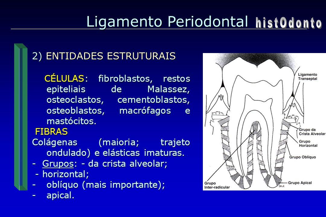 Ligamento Periodontal 2) ENTIDADES ESTRUTURAIS CÉLULAS: fibroblastos, restos epiteliais de Malassez, osteoclastos, cementoblastos, osteoblastos, macró