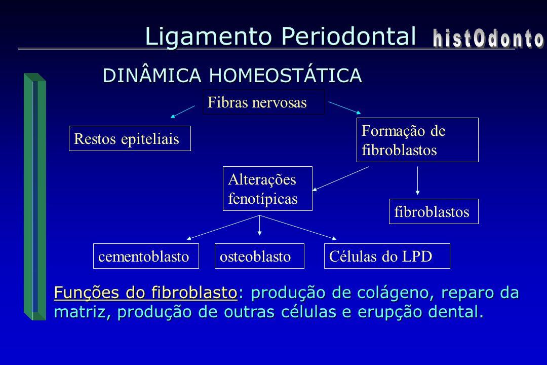 Ligamento Periodontal DINÂMICA HOMEOSTÁTICA Fibras nervosas Restos epiteliais Formação de fibroblastos fibroblastos Alterações fenotípicas cementoblas