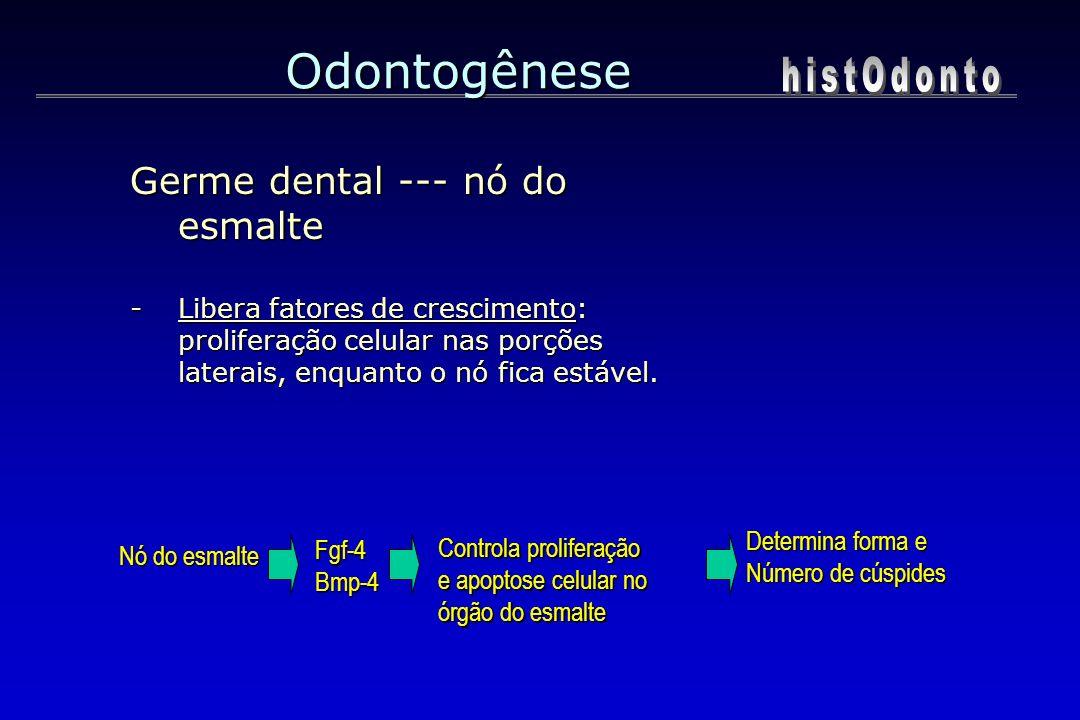 Odontogênese Germe dental --- nó do esmalte -Libera fatores de crescimento: proliferação celular nas porções laterais, enquanto o nó fica estável. Fgf