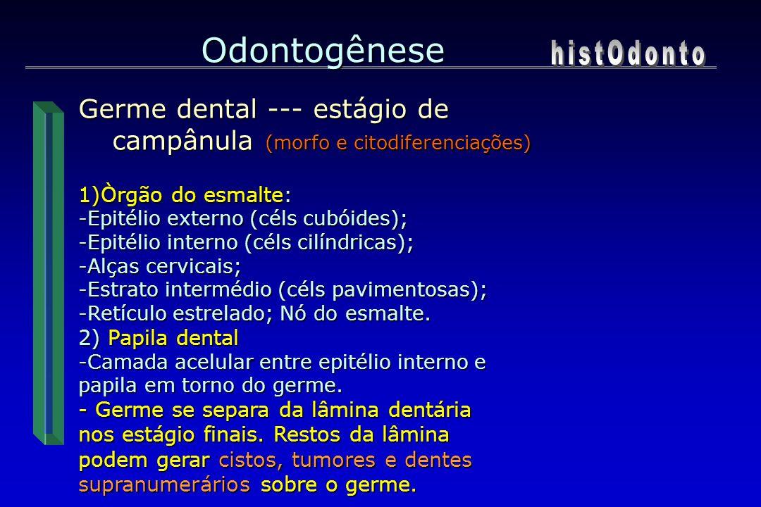 Odontogênese 1)Òrgão do esmalte: -Epitélio externo (céls cubóides); -Epitélio interno (céls cilíndricas); -Alças cervicais; -Estrato intermédio (céls
