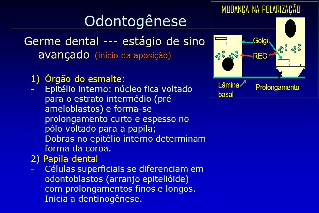 Odontogênese 1)Òrgão do esmalte: -Epitélio interno: núcleo fica voltado para o estrato intermédio (pré- ameloblastos) e forma-se prolongamento curto e