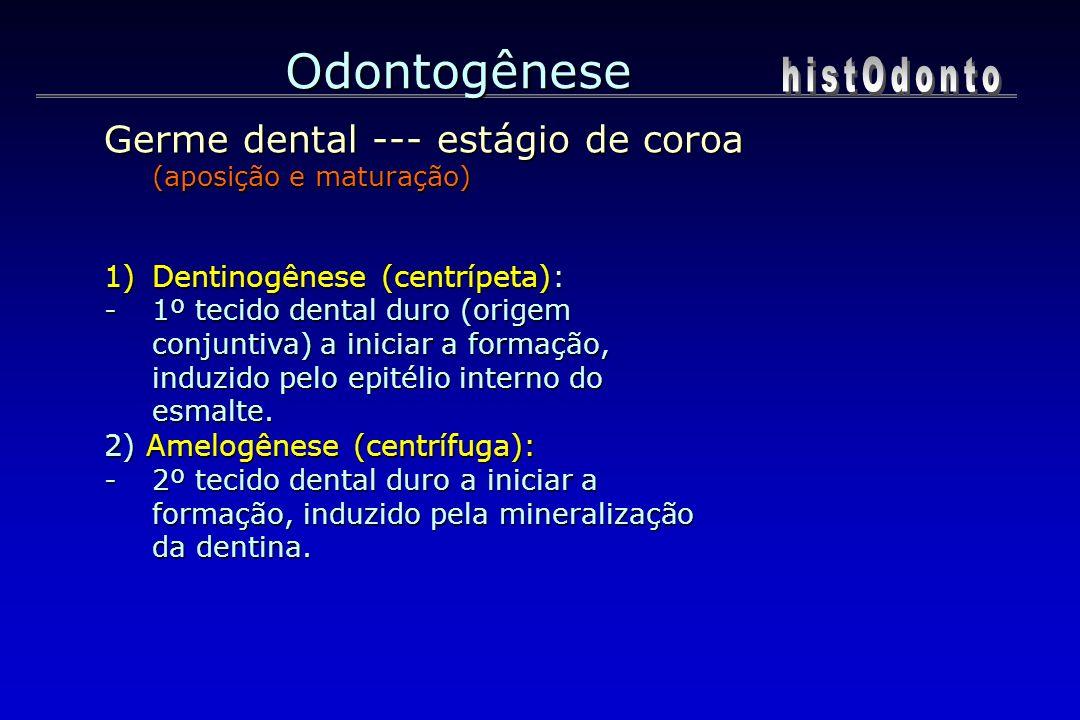 Odontogênese 1)Dentinogênese (centrípeta): -1º tecido dental duro (origem conjuntiva) a iniciar a formação, induzido pelo epitélio interno do esmalte.