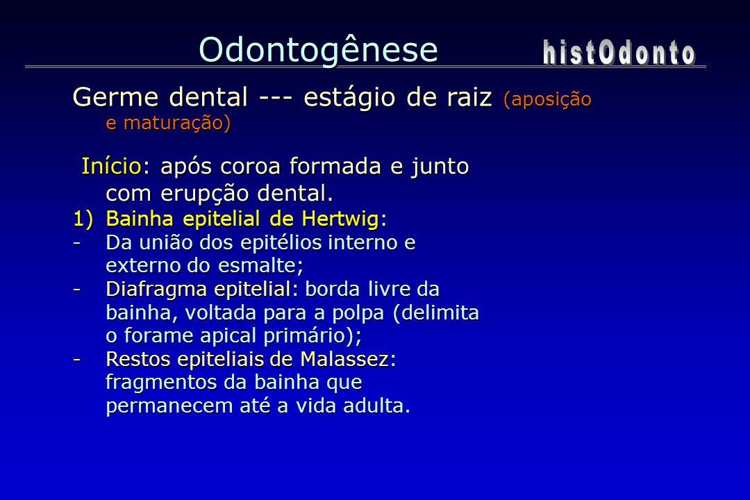 Odontogênese Início: após coroa formada e junto com erupção dental. Início: após coroa formada e junto com erupção dental. 1)Bainha epitelial de Hertw
