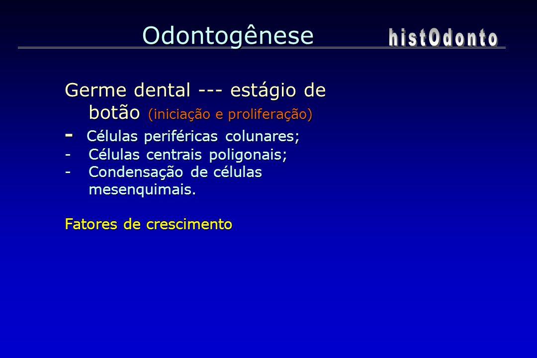 Odontogênese Germe dental --- estágio de botão (iniciação e proliferação) - Células periféricas colunares; -Células centrais poligonais; -Condensação