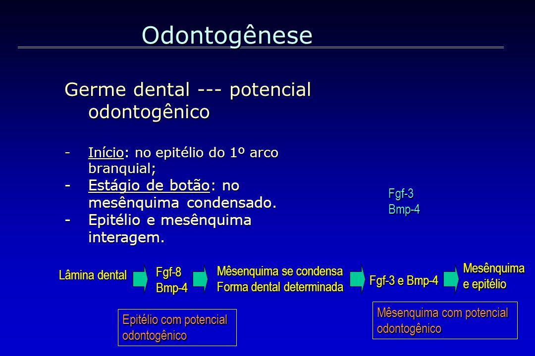 Odontogênese Germe dental --- potencial odontogênico -Início: no epitélio do 1º arco branquial; -Estágio de botão: no mesênquima condensado. -Epitélio