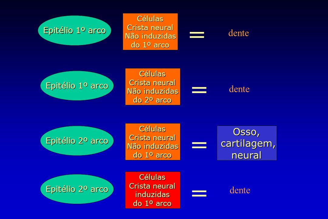 Epitélio 1º arco Células Crista neural Não induzidas do 1º arco = Epitélio 1º arco Células Crista neural Não induzidas do 2º arco = Epitélio 2º arco C