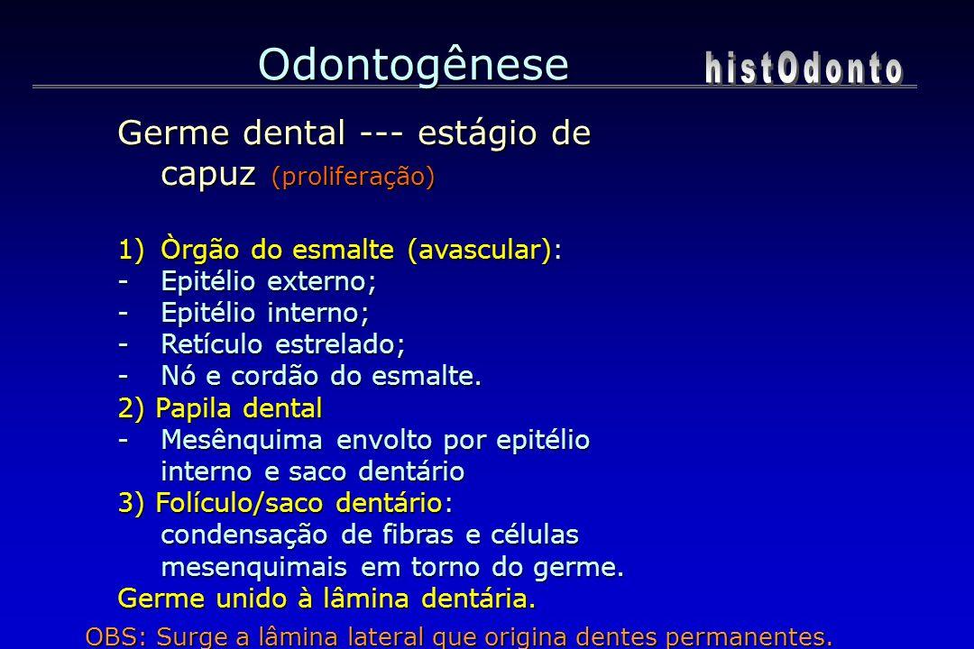 Odontogênese Germe dental --- estágio de capuz (proliferação) 1)Òrgão do esmalte (avascular): -Epitélio externo; -Epitélio interno; -Retículo estrelad