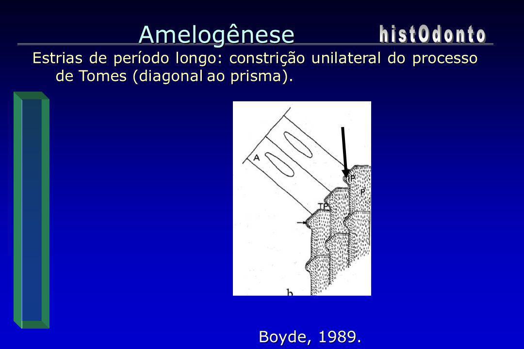 Amelogênese Estrias de período longo: constrição unilateral do processo de Tomes (diagonal ao prisma). Boyde, 1989.