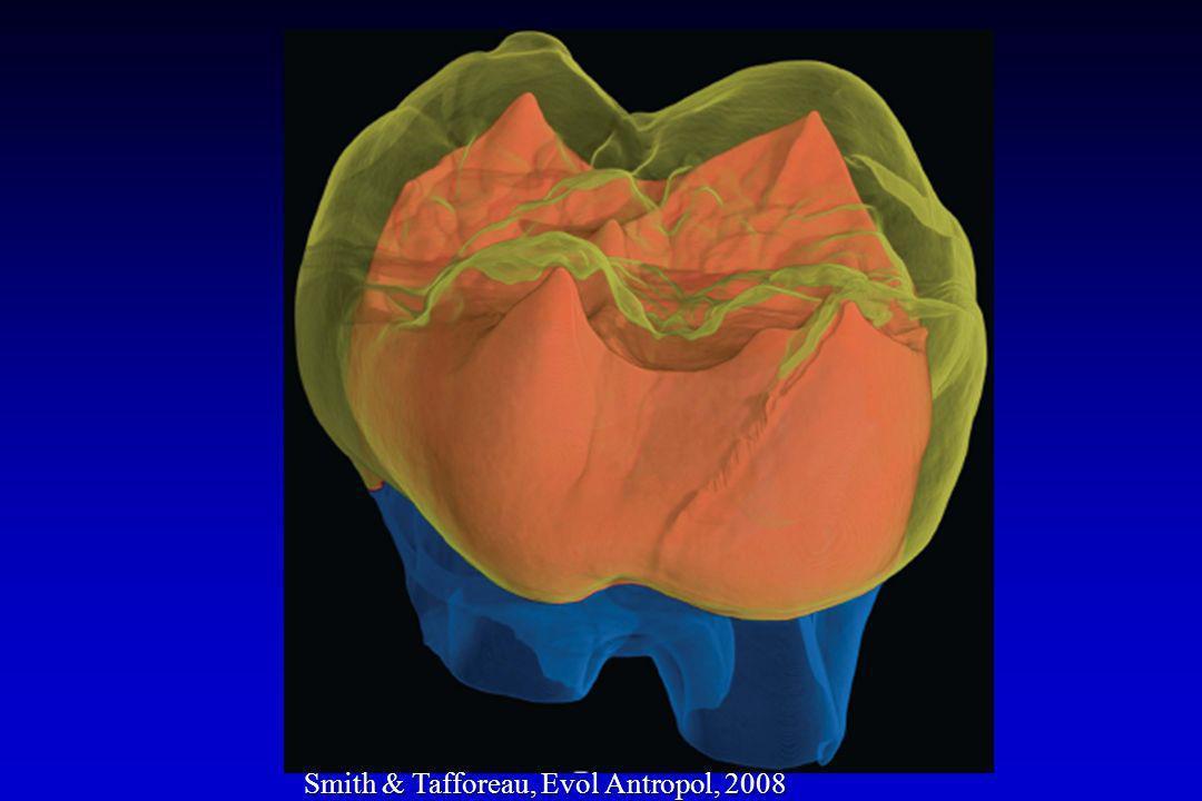 Ameloblasto maturador: modulação de tipos e funções Ameloblasto maturador: modulação de tipos e funções Amelogênese superfície rugosa superfície lisa 1)Não ocorre nos outros tecidos dentais duros; 2)Deixa o esmalte susceptível à penetração de metais pesados (Pb, Zn); 3)Dentes permanentes passam mais tempo maturando; 4)Susceptível à ação do flúor, que inibe a remoção de matéria orgânica e o crescimento dos cristais; 5)Incorporação de estrôncio pode indicar quando o iniciou a dieta sólida.