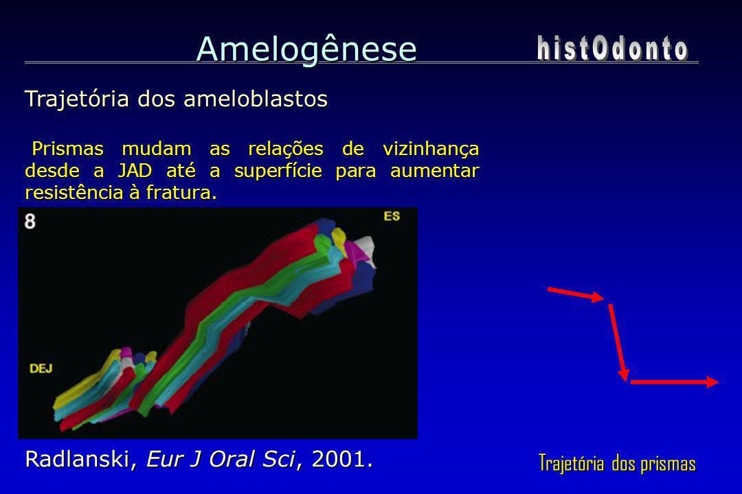 Amelogênese Trajetória dos ameloblastos Prismas mudam as relações de vizinhança desde a JAD até a superfície para aumentar resistência à fratura. Pris